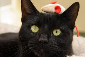 Dare Devil Cat with his mouse toy - Washington Animal Rescue League